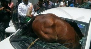 jaipur horse in car